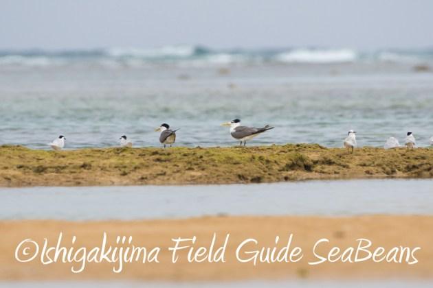C-_Users_SeaBeans_Desktop_9月5日石垣島バードウオッチング&野鳥撮影ガイド17