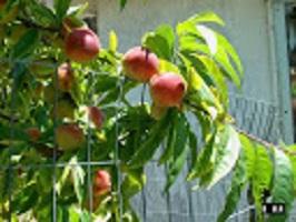 Peaches (1)