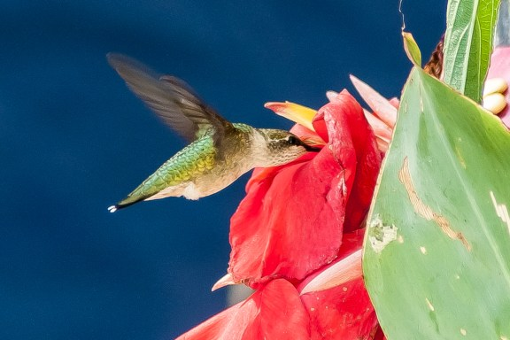 Female Ruby-throated Hummingbird - Charley Moore