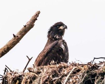 Immature Bald Eagle - C Moore