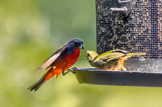 Male & Female Painted Bunting - C Moore