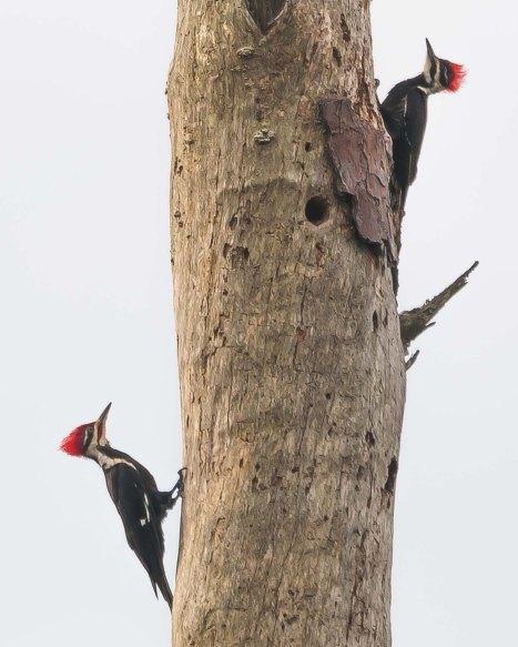 Pileated Woodpecker 2 - C Moore