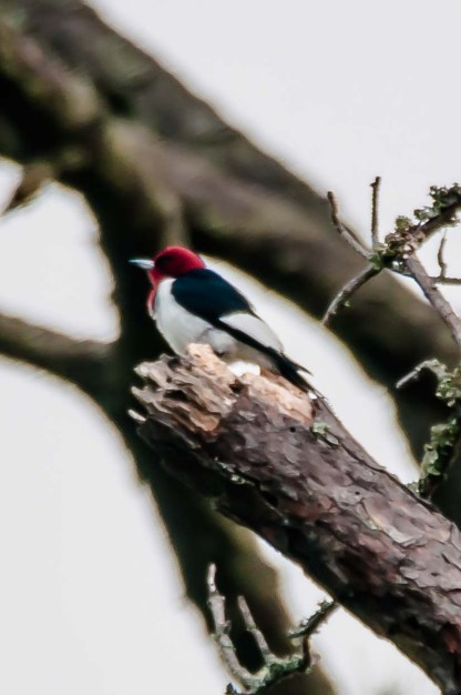 Red-headed Woodpecker - C Moore