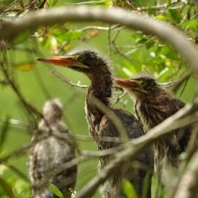 Juvenile Green Herons - Ed Konrad