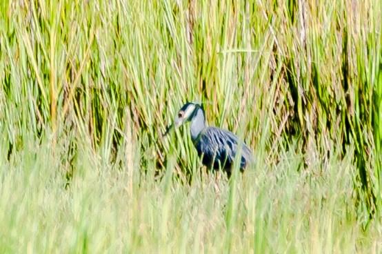 Yellow-crowned Night Heron - Charlie Moore