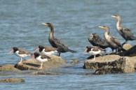 Double-crested Cormorants and American Oystercatchers - E Konrad
