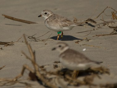 """Piping Plovers on North Beach including one with """"jewelry"""" - Ed Konrad"""