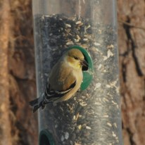 American Goldfinch - Ed Konrad