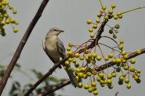 Northern Mockingbird - Ed Konrad