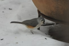 Tufted Titmouse (yes he's standing in snow!) Brrr - Ed Konrad