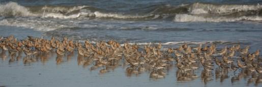 Photo 4: Red Knots feeding on North Beach at Seabrook Island - Ed Konrad
