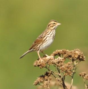 Savannah Sparrow - Ed Konrad