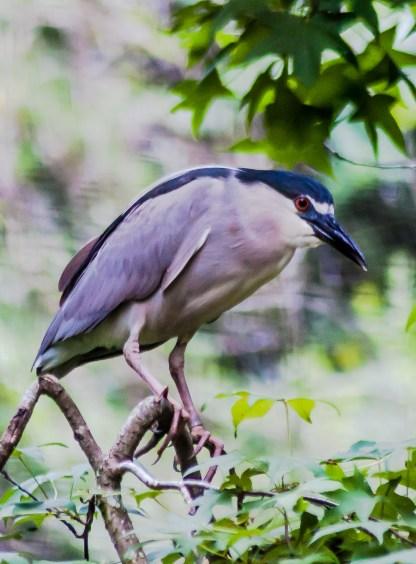 Adult Black-crowned Night-Heron - Charles Moore