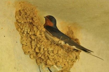 Barn Swallow nest - Ed Konrad