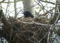 American Crow in nest - Ed Konrad