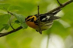 Blackburnian Warbler, Magee Marsh - Ed Konrad