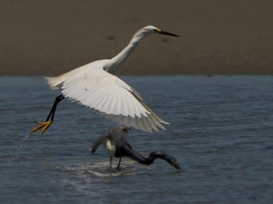Snowy Egret and Tricolored Heron, North Beach tidal pool - Ed Konrad