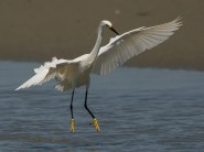 Snowy Egret canopy fishing behavior - Ed Konrad