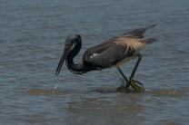 Tricolored Heron hunt and peck fishing behavior - Ed Konrad