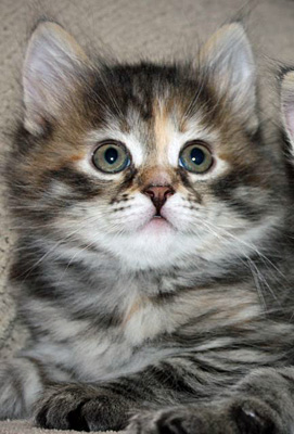 Female Siberian cat Calina as a kitten