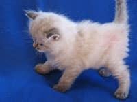 Siberian kitten Nougat