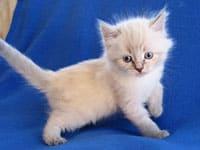 Siberian kitten Nadia