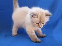 Siberian kitten Niko