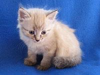 Siberian kitten Nuri