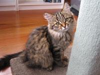 Siberian kitten Inka