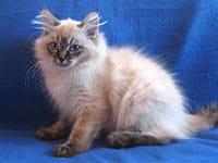 Siberian kitten Obi