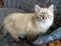 Siberian kitten Irina