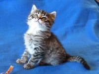 Siberian kitten Lucy