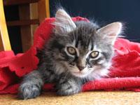 Siberian kitten Alexander