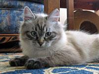 Siberian kitten Ariana