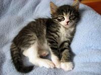 Siberian kitten Crissa