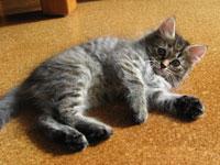 Siberian kitten Coco