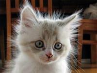 Siberian kitten Catia