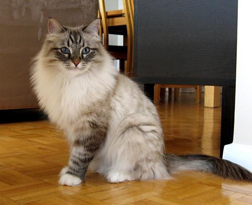 Mari - Siberian female cat