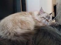 Siberian kitten Iggy