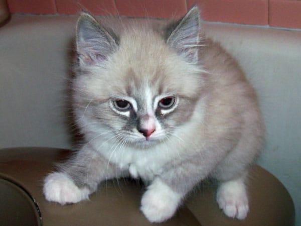 Siberian kitten Angara Harlequin at 2 months old