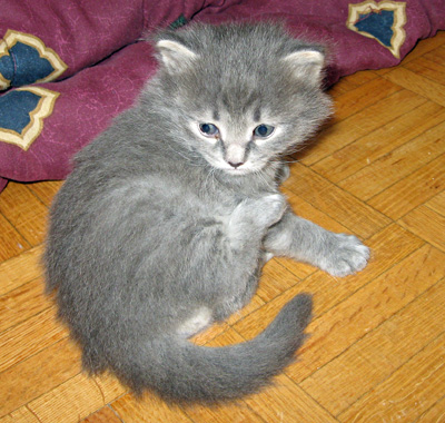 Siberian kitten Elu leaves the nest for the first time, aged 23 days, Sept 4 2011