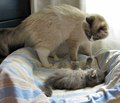 Siberian kitten Elu invites 'Uncle' Harley to wrestle