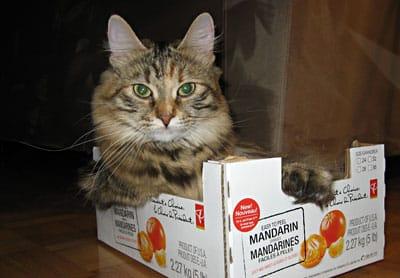 Female Siberian cat Calina
