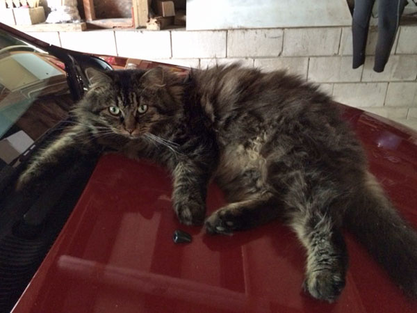 Siberian cat Alexander in a warm spot, 4 May 2014