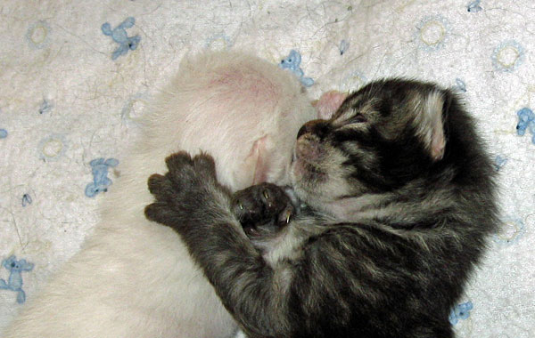 10-day-old Siberian kittens