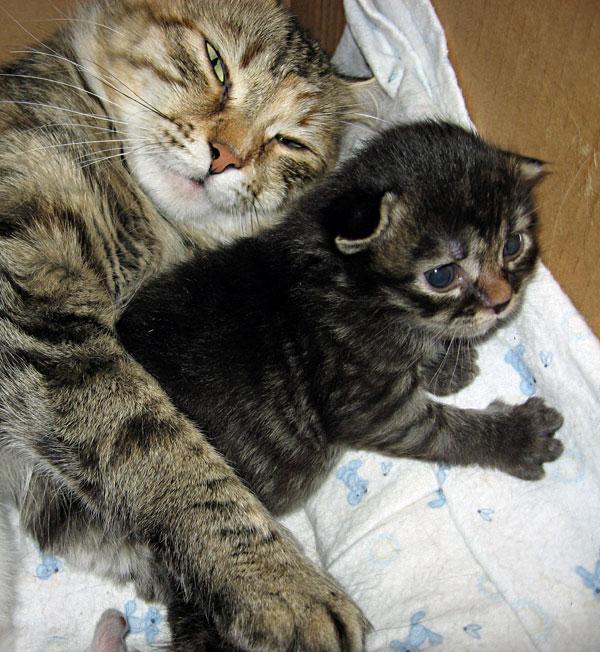 Male Siberian kitten Alexander