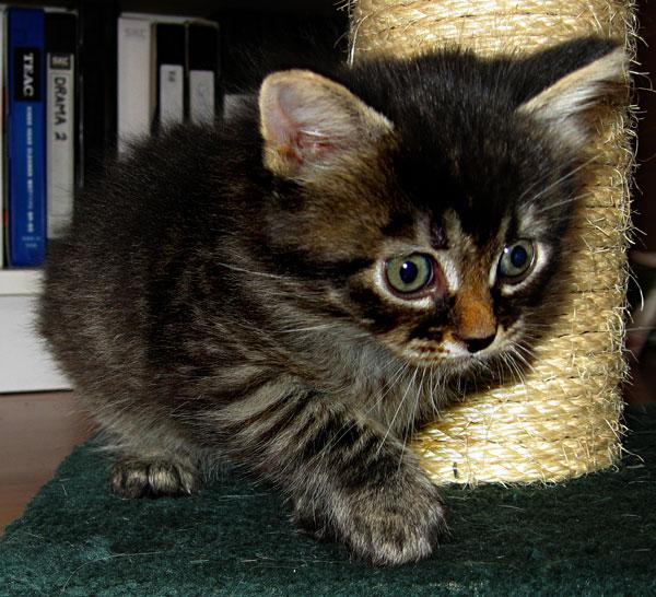 Siberian kitten Alexander at 4 1/2 weeks.