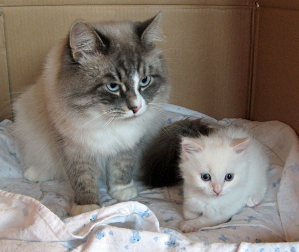 Siberian kitten Alfie, age 5 weeks, with his father Harley.