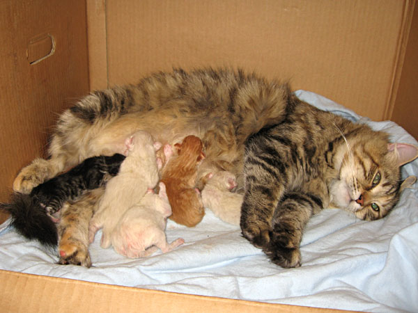 Calina and five kittens, just a few hours after they were born