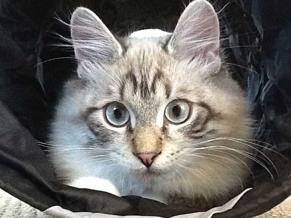 Male lynx point Siberian kitten Archie at 5 1/2 months old